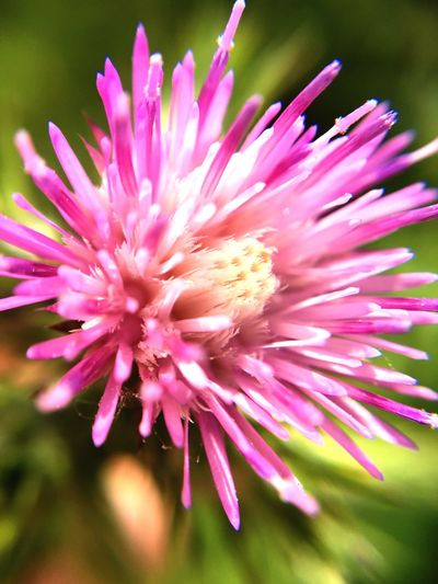 Flowers Flower Flowerporn Plant Cardoon Nature Nature_collection Nature Photography Nature On Your Doorstep Garden Taking Photos Macro Beauty In Nature Close-up Taking Photos Detail