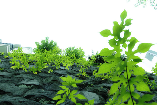 green wall Beauty In Nature Clear Sky Close-up Cloudy Day Evolution  Focus On Foreground Green Green Color Growing Growing Growth Leaf Leaves Life Lush Foliage Nature No People Outdoors Plant Rei Rise Sky Tranquility Wall