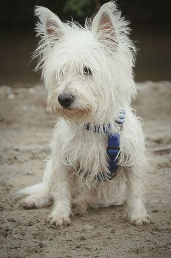 Dog Life Dogs Dog❤ Perros  West White Highland Terrier Puppy Terrier WestiesWesties My Dog