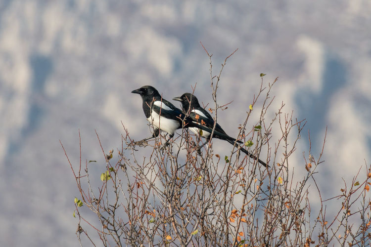 Eurasian magpie (pica pica) Nature and wild bird image Eurasian Magpie Pica Pica Animal Animal Themes Vertebrate Bird Animal Wildlife Animals In The Wild One Animal Perching Plant No People Nature Tree Day Branch Focus On Foreground Outdoors Selective Focus Black Color Twig Close-up