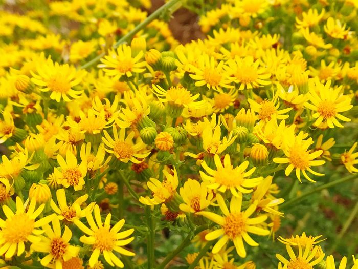 Ragwort Jacobaea Vulgaris Senecio Jacobaea Flower Growth Nature Plant Yellow Beauty In Nature Field Day Outdoors No People Blooming Fragility Freshness Flower Head Close-up Spring Springtime Wildflower Flora Flowers Abundance Of Flowers Floral