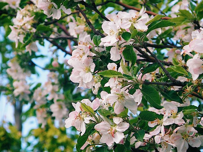 Flower Blossom Fragility White Color Nature Beauty In Nature Apple Blossom Branch Freshness Petal Botany Springtime Growth Close-up Day Tree No People Outdoors Focus On Foreground Flower Head Shushannaagapiphoto Shushannaagapi Blooming EyeEmNewHere
