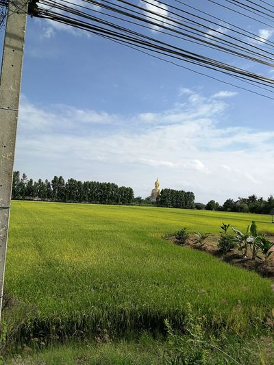 Cable Pole Electric Banana Tree Yellow Rice Field Rice Field Bushes White Cloud Blue Sky Buddha Statue Field Agriculture Tree Sky Grass Cloud - Sky Farmland Agricultural Field Rice - Cereal Plant Rice Paddy