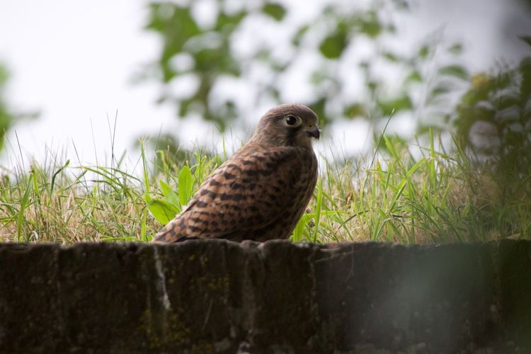 Canon 7D MarkII Sigma Animal Themes Animal Wildlife Animals In The Wild Bird Bird Of Prey Canon Canonphotography Close-up Day Focus On Foreground Kestrel Nature No People One Animal Outdoors Owl Perching Sigma 50-500mm