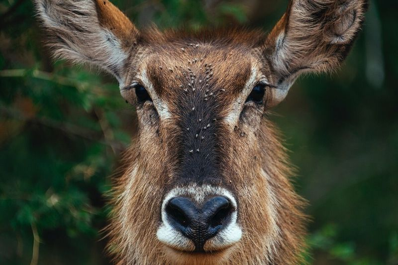 Portrait of a female Waterbuck. One Animal Portrait Focus On Foreground Animal Themes Animals In The Wild Looking At Camera Animal Wildlife Animal Head  Deer Mammal Close-up Day No People Nature Outdoors
