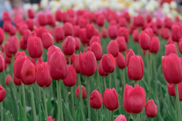 Field of red tulips Red Color Tulips Copy Space EyeEm Nature Lover EyeEm Best Shots - Nature EyeEm Selects Nature Collection Springtime EyeEm Gallery Nature Photography Nature Freshness Flowering Plant Plant Flower Freshness Beauty In Nature Growth Vulnerability  Tulip Petal Flower Head Close-up Inflorescence No People Nature Field Day Land Fragility