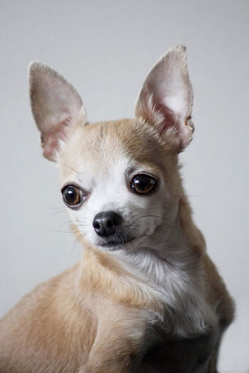 Close-up portrait of a dog over white background