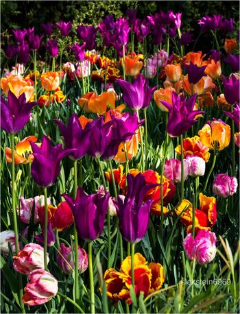 A riot of colorful Tulips..... Flowerporn EyeEm Best Shots - Nature Flowers Tulips Longwood Gardens, PA