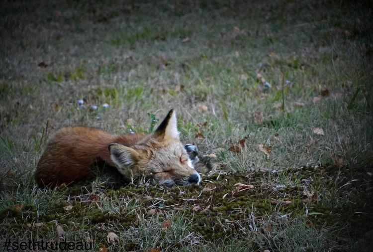 Bonus photo for the first day of fall. Enjoy! Red Fox Fox Autumn Outdoors Sethtrudeau Photography Mammal Cute Animal Firstdayoffall One Animal Baby Animals Whisker