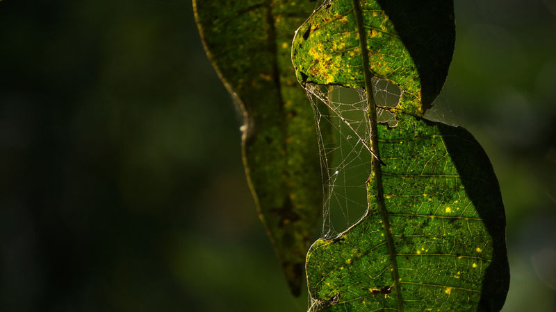 Beautiful nature Spider Web Patern Paterns In Nature Nature Nature_collection Nature Photography Leaf Close-up Plant Life Web Leaf Vein Maple Leaf First Eyeem Photo Rainforest