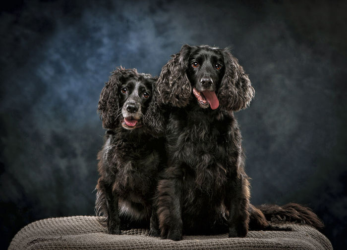 Portrait of black dogs sitting against wall at home