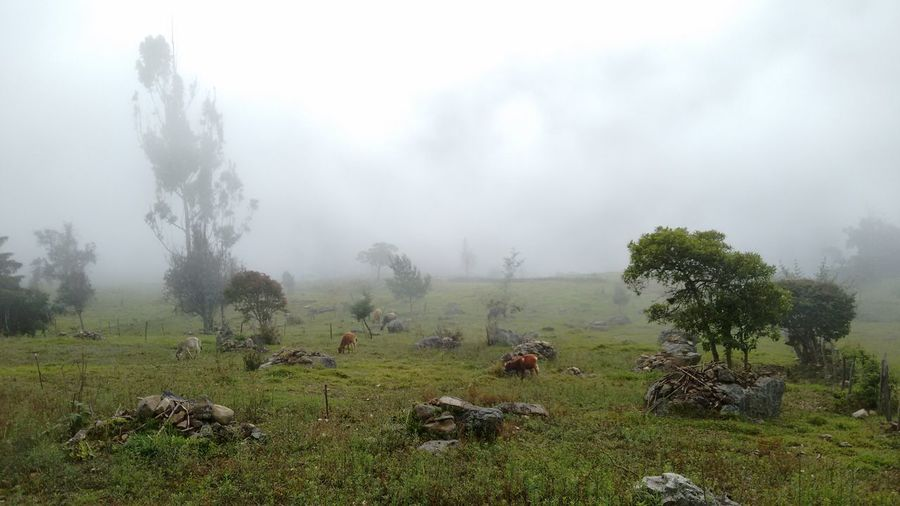 Cloudy morning in Guaca, Santander, Col. Fog Nature Tree Weather Landscape Beauty In Nature Tranquility Plant Lush - Description Outdoors No People Sky Day Colombia ♥  Santander Santander-Colombia Foggy Morning Morning Clouds Farm Life Rural Scene No Filter, No Edit, Just Photography Nature_collection Cows🐮