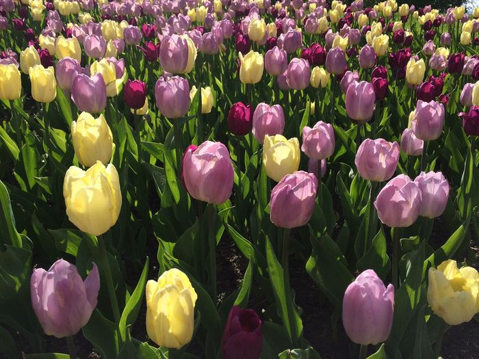 Tulips Tulip Flower Flowers Lilac Yellow Lilac And Yellow