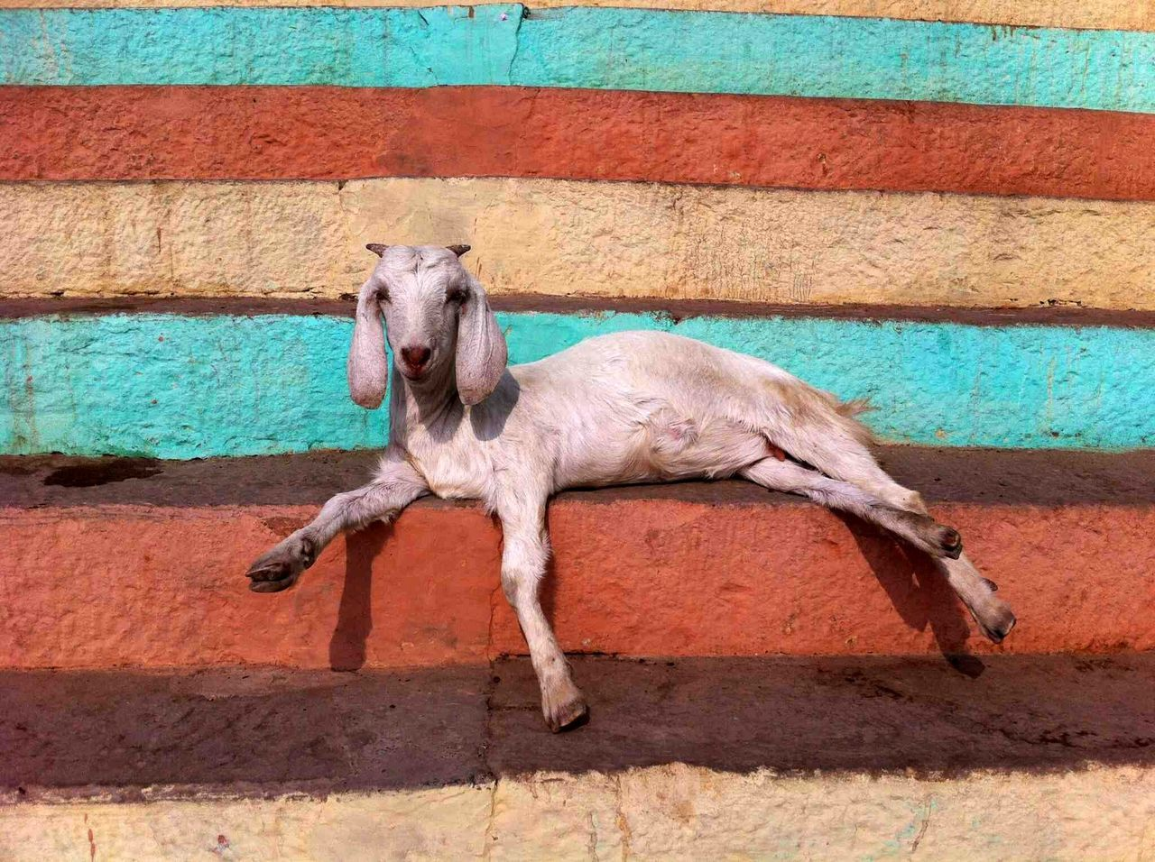 View Of A Goat Relaxing On Steps