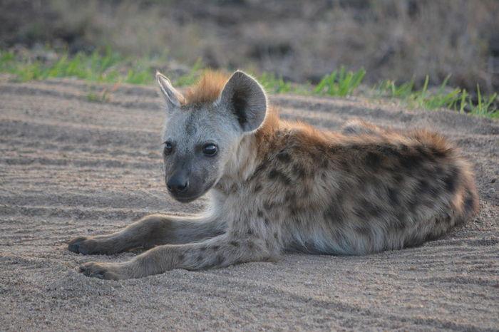 African Wildlife Cub Hyena Hyena Cub Hyena Dog Wildlife & Nature Wildlife Babies Wildlife Photography