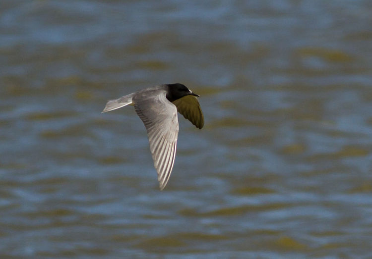 Animal Themes Animals In The Wild Bird Bird Photography Black Tern Chlidonias Niger European Birds Flying Nature Nature Photography No People One Animal Spread Wings Tern Western Palearctic Wildlife & Nature Wildlife Photography
