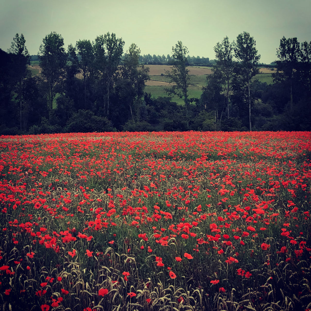 RED FLOWERS GROWING ON FIELD BY TREES