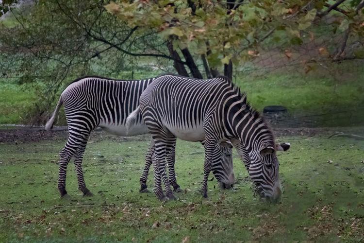 Zebra Black And