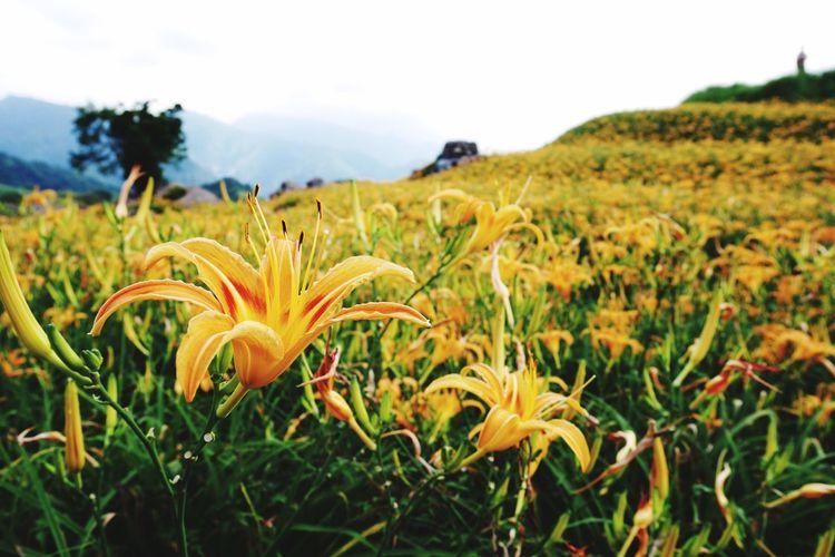黃金花海-金針花田 花蓮 六十石山 金針花
