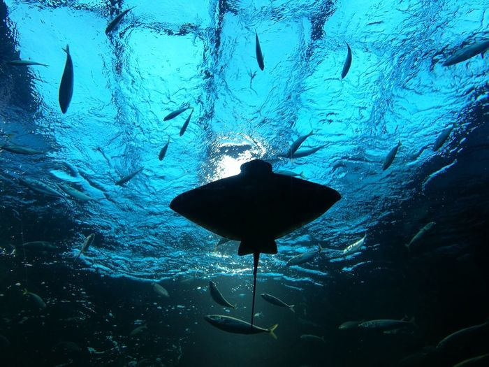 Ray Rochen Stingray Blue Underwater Silhouette No People Animal Themes