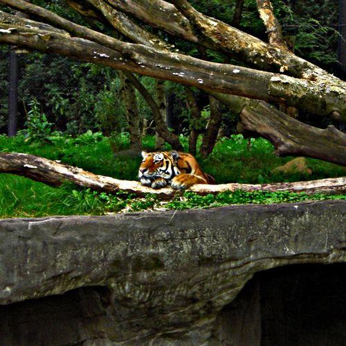 🐯 Nature Animal Themes Tiger Animal Wildlife Eye4photography  Tigers Tiger Face Tiger Love Beauty In Nature Animal Photography One Animal EyeEm Best Shots - Nature Followme Follow4follow EyeEm Nature Lover EyeEmBestPics Beauty In Nature Close-up Nature Photography Hamburgerecken Zoo Hagenbecks Tierpark Hamburg  No People Outdoors Beautiful Nature