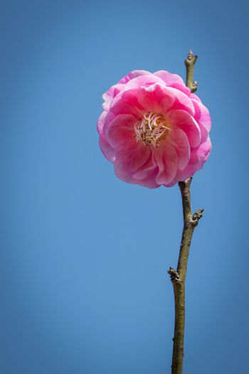 Close-up of pink flower against clear sky