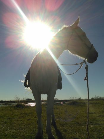 Showcase: December Mr. Heavenly Sun And Rays Quarter Horse Saddle Up..! Animal Photography Animal_collection