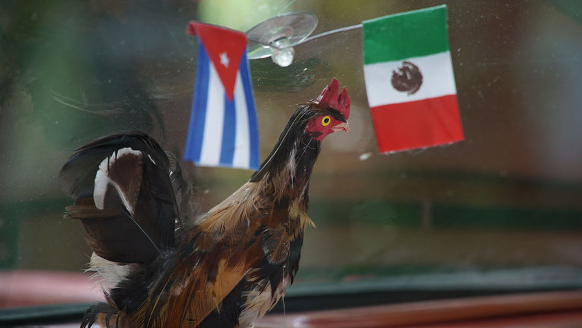 Cuban Flag Havana Cars Old Cars Animal Themes Bird Close-up Day Flag Nature No People One Animal Outdoors Travel Destinations Vacation Destination