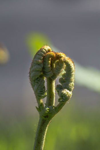 hairy leaves unfolding in spring time Beauty In Nature Bokeh Bokeh Photography Close-up Day Focus On Foreground Fragility Green Color Growth Hairy Leaves Nature No People Outdoors Spring Unfolding Unfolding Leaves