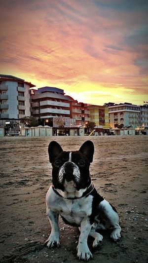 Al tramonto Dog Sunset Animal Themes Bouledogue Francais Frenchbulldog Sky Beach Pets Domestic Animals Outdoors Built Structure Architecture No People Mammal Building Exterior Day Nature