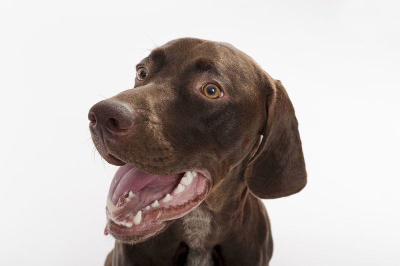 Expressive Animal Body Part Animal Eye Animal Head  Animal Themes Braco Brown Canine Dog Dog Head Dog Head Shot Dog Mouth Doggy Domestic Domestic Animals German Dog German Shorthaired Pointer Looking Mammal Mouth Open One Animal Pedigreed Pointer Dog Purebred Snout
