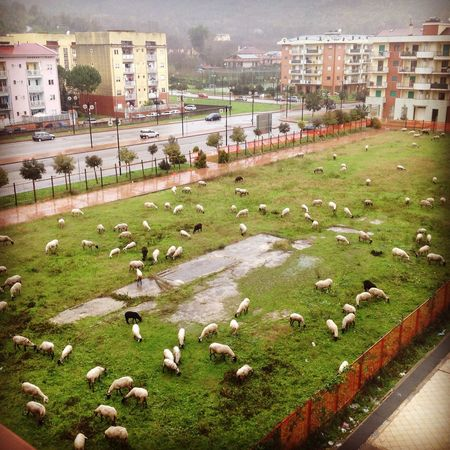 I can't sleep tonight... I think I have to count the sheeps I photographed this morning from my window... Italy Italia Campania Salerno Baronissi Sheep