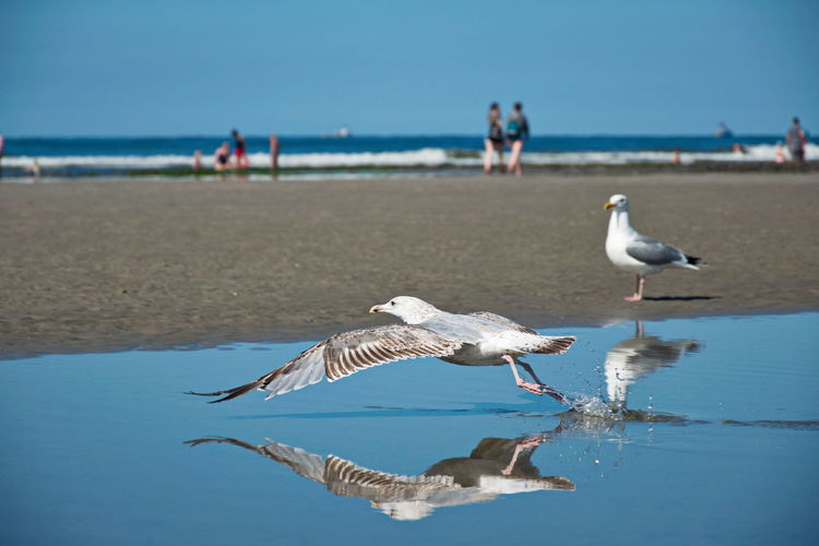 Seagull taking off Bird Animal Wildlife Animal Animals In The Wild Water Sea Beach Nature Seagull Horizon Over Water Horizon Outdoors Nature Sport Reflection Spiegelung Seascape TakeOff Flying