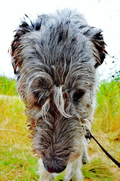 Look at my hair. Taking Photos Check This Out Hello World Relaxing Hi! August2016 Summer 2016 Showcase August Cearnaigh Irish Wolfhound Dogslife Dogwalk Dog Of Eyeem Dog Of My Life Dog Of The Day Dogs Of Summer At The Lake Bokeh Holiday 2016