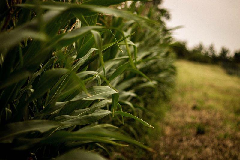 Cornfield Corn