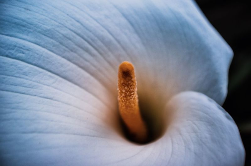 Close-up of white calla lily