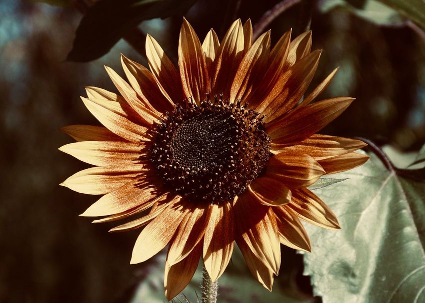 Beautiful Sunflower Flower Flowering Plant Vulnerability  Fragility Freshness Flower Head Plant Growth Inflorescence Petal Beauty In Nature Close-up Sunflower Outdoors Nature Focus On Foreground Pollen Backgrounds Blossom Decorative Warm Colors Garden Flora Sun Leaf