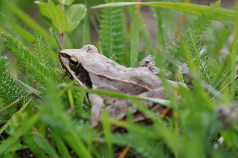 Animal Themes Day Frog Grass Green Color Growth Mammal Nature No People One Animal Outdoors Plant