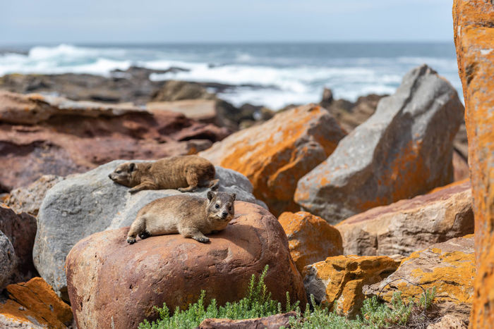 Wildlife & Nature Wildlife Dassie South Africa Africa Plettenberg Bay Robberg Nature Reserve Robberg Island Beach Animal African Animals Sea Wave Beach Water Sand Rock - Object Relaxation Animal Themes Horizon Over Water Sky Rocky Coastline Rock Formation Coastline Cliff Rock Coast Eroded Geology