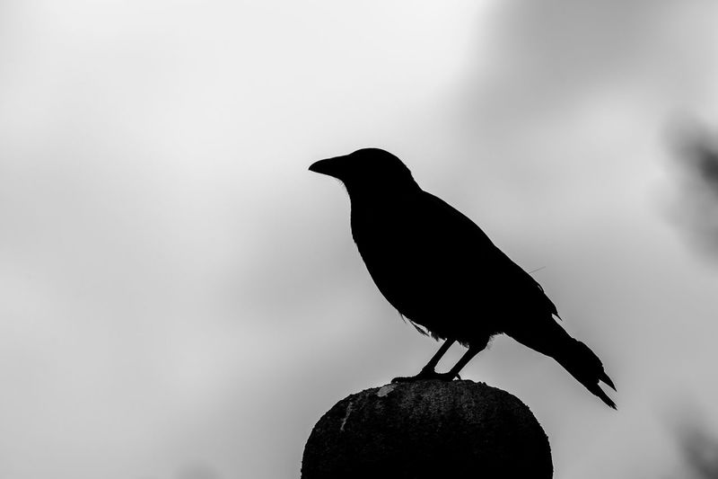 Animal Animal Themes Beauty In Nature Bird Black Color Close-up Crow Focus On Foreground Nature Outdoors Selective Focus Siluet Siluette Wildlife