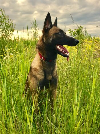Pets Dog Domestic Animals Grass One Animal Animal Themes Mammal Field No People Sky Growth Outdoors Cloud - Sky Day Sticking Out Tongue Nature