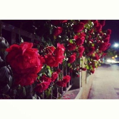 꽃 장미 Flowers on the way home