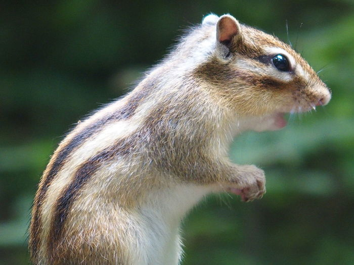 Side view of chipmunk