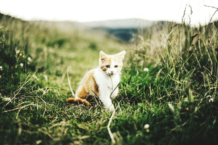 Grass Domestic Cat Feline One Animal Mammal Animal Themes Portrait Nature Looking At Camera Day Outdoors Pets No People Cheetah The Week Of Eyeem Beauty In Nature Cat Watching Animal Wildlife Catlover