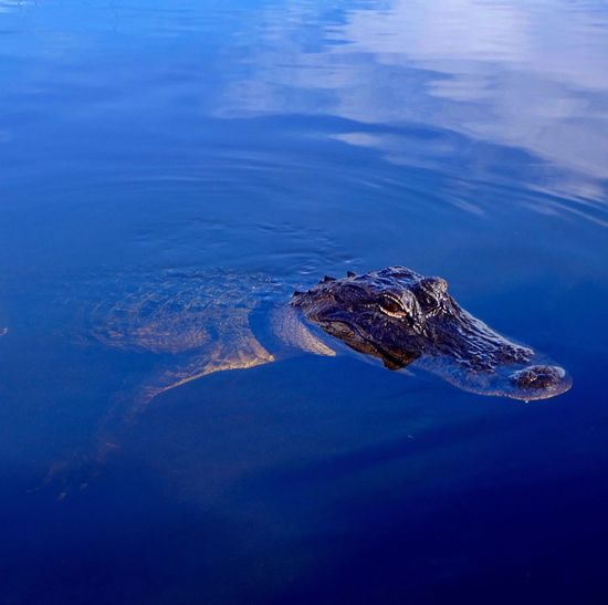 Close-up of a crocodile in water