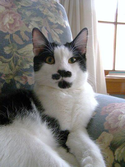 Black And White Fur Cat Close-up Domestic Animals Feline Fun Patterns Mammal Pets Portrait