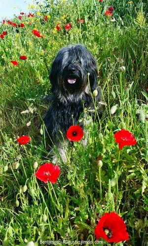Bentjesgosaugustin Gos D'atura Holidays Texel  Dog Walking Beauty #flower #spring #happiness Landscape Nature I Love My Dog Mydog