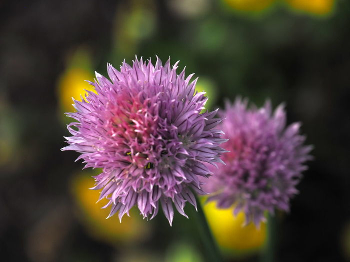Beauty In Nature Botany Close-up Day Flower Flower Head Flowerbed Flowering Plant Focus On Foreground Fragility Freshness Garden Growth Inflorescence Nature No People Onion Blossoms Onion Flower Petal Pink Color Plant Purple Thistle Vulnerability