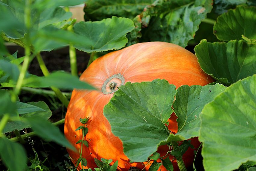 Pumpkin Plant Plant Part Growth Leaf Orange Color Green Color Nature Beauty In Nature Food No People Freshness