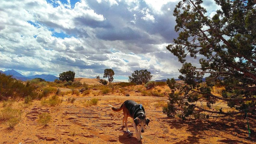 Picking Up The Scent.... Hunting Mountain lions...in his mind... haha 😂 Sky Cloud - Sky Tree Nature Day Outdoors Animal Themes No People Beauty In Nature Mammal Desert Travel Destinations EyeEm Gallery EyeEm Diversity The Week On EyeEm Popular Photographs Interesting Perspectives Lost In The Landscape Nature Deserts Around The World Geology Hunting Dog On A Trail Landscape Arid Climate Been There. Done That.